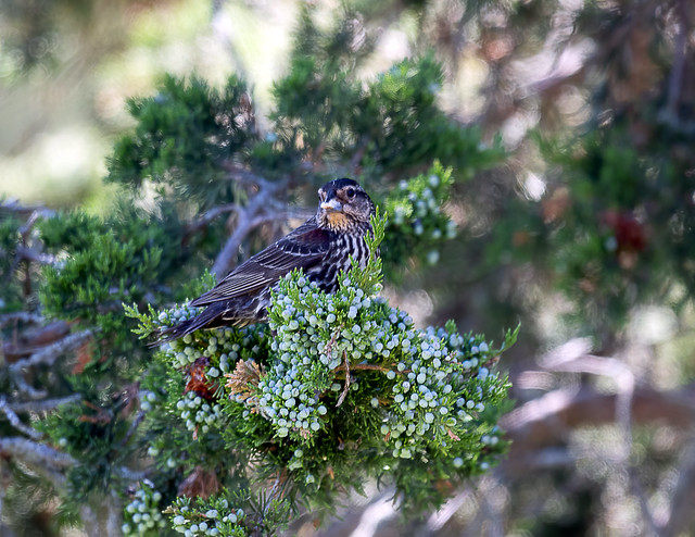 Content Female Red Wing Blackbird