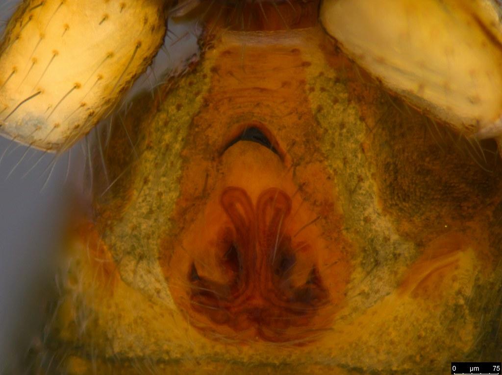 1c - Queenvic picadilly Platnick, 2000