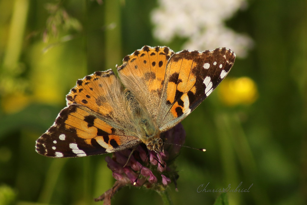 Butterfly,  Pink Lady - Vanessa cardui