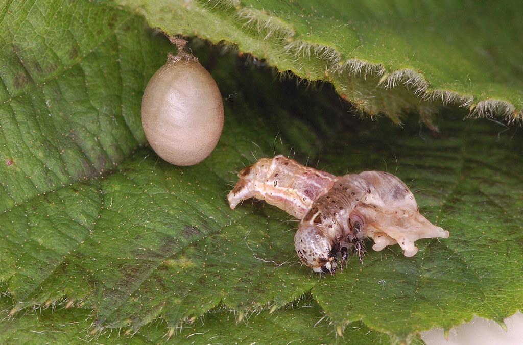 Parasitised Small Quaker (Orthosia cruda)  with Ichneumon cocoon
