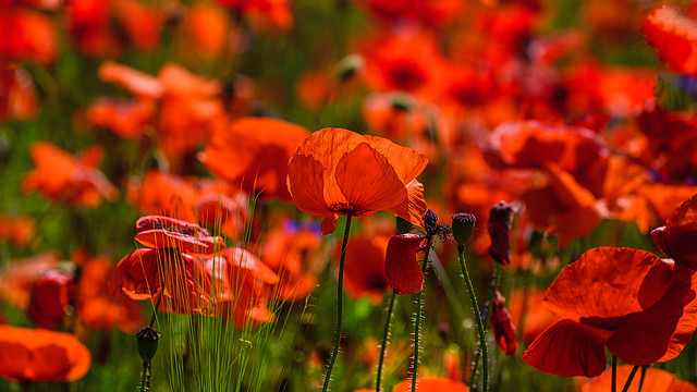 backlighted poppies