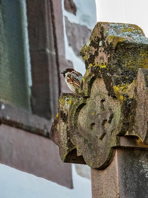 Le moineau du cimetière