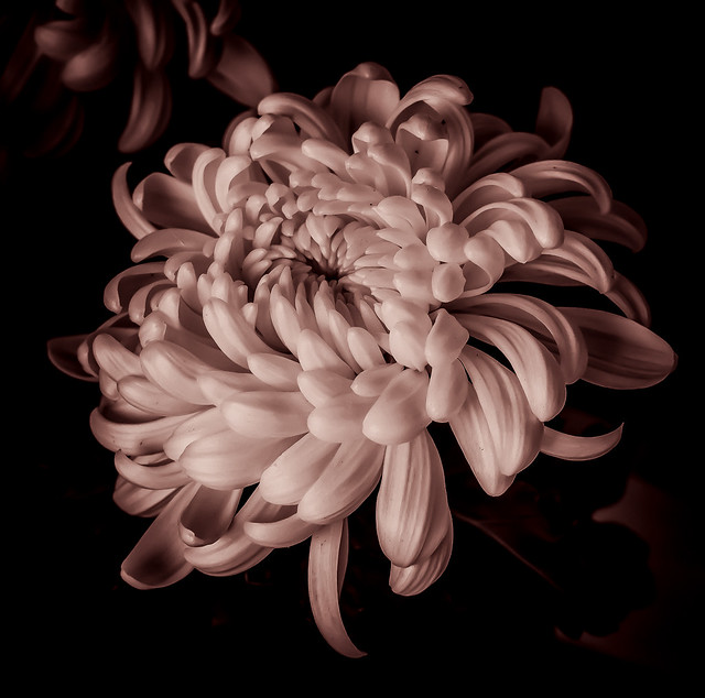Chrysanthemum in monochrome