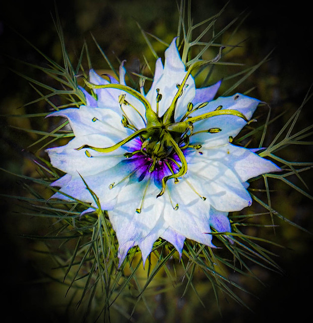 Love-in-a-mist  #165