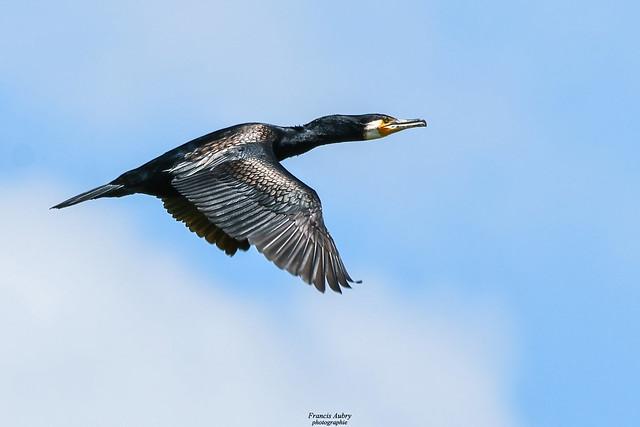 Grand Cormoran (Phalocrocorax carbo)