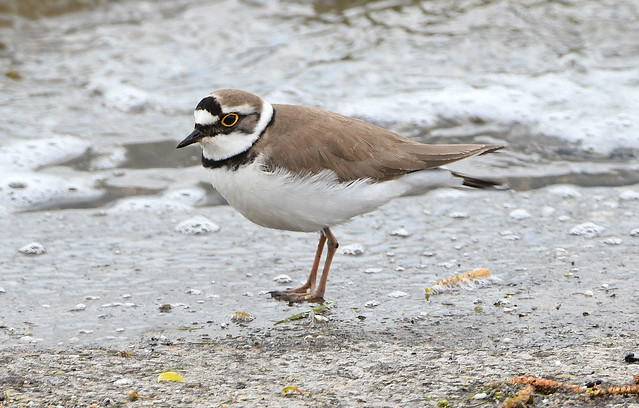 LITTLE RINGED PLOVER at GRAFHAM WATER 5