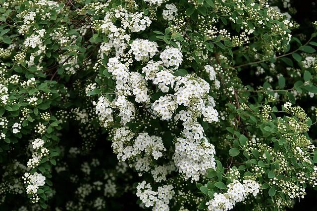 Snow-white cascade.  Spiraea ×vanhouttei