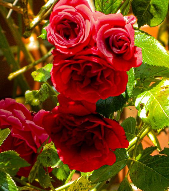 Rose beings / Rosenwesen
