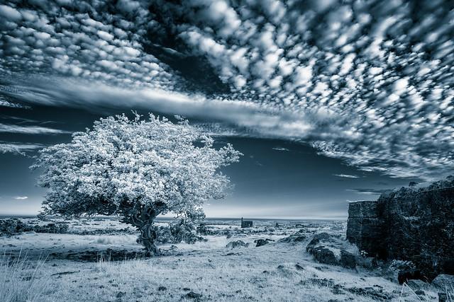 Bodmin hawthorn Infrared