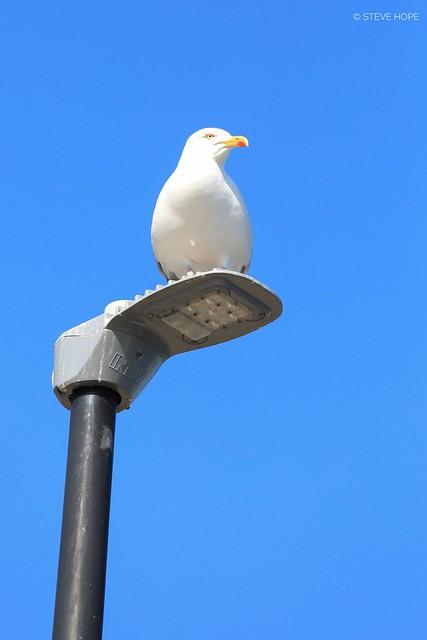 Scarborough Gull