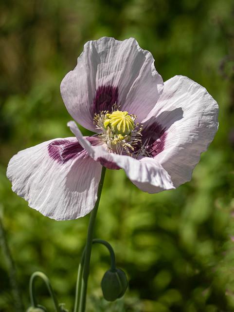 White Poppy-7329-Edit.jpg