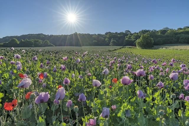 *opium poppy dream*