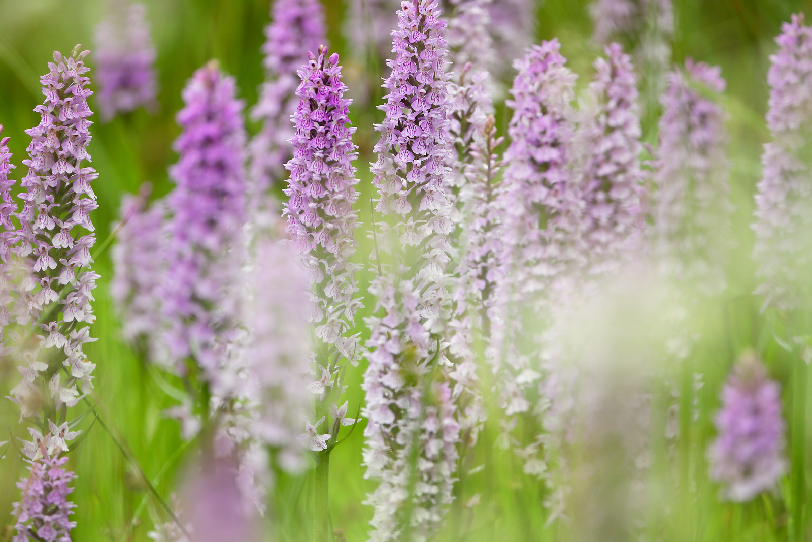 Summer Orchid Meadow
