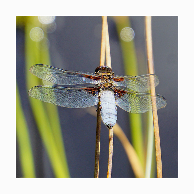 dragonfly.........LIBELLULA DEPRESSA
