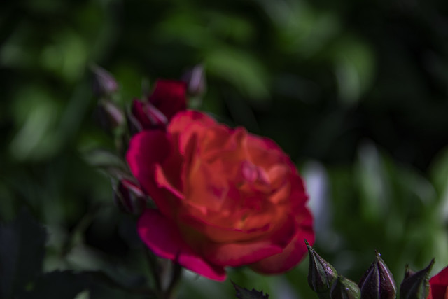Qrange Rose blossom in our Arbor garden