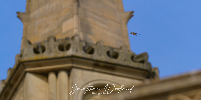 Norm the male Peregrine falcon comes bombing through on a dive after a pigeon