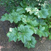 Podophyllum pleianthum 02