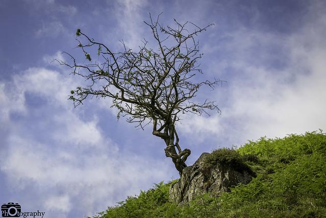 Gnarly Hillside Tree