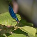 Синяя стрекоза прилистилась перекусить только что пойманной тлёй