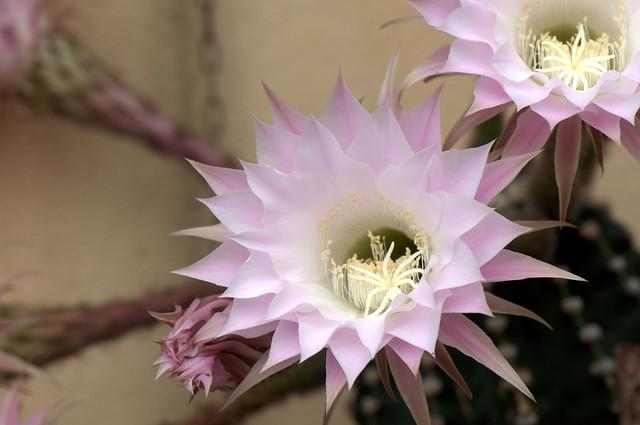Easter Lily Cactus - Cactus Giglio di Pasqua (Echinopsis oxygona)1_Peregallo casa Paola_flickr_DSC_7907-1