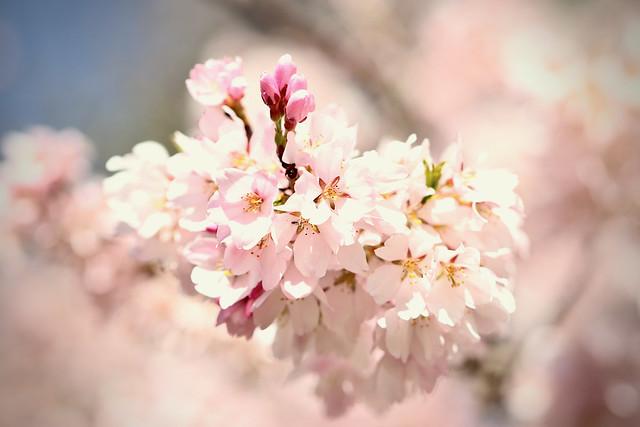 Sakura aka Cherry Blossoms