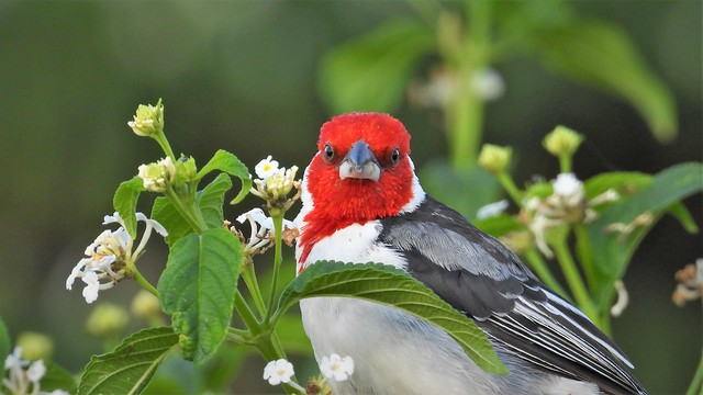 Red-cowled Cardinal - Explore
