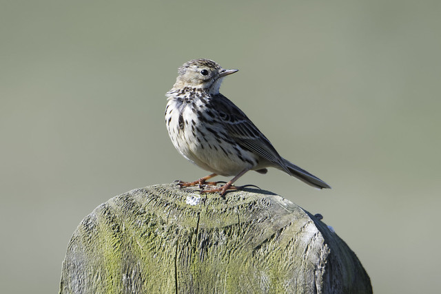 Cooley Meadow Pipit