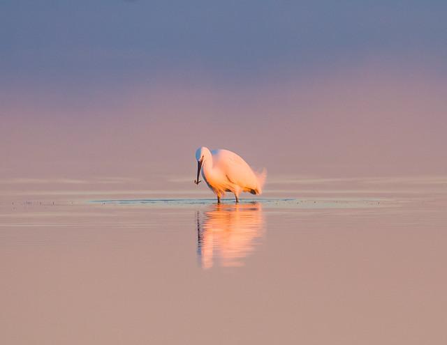 Great White Egret. Airone. (Casmerodius Albus).