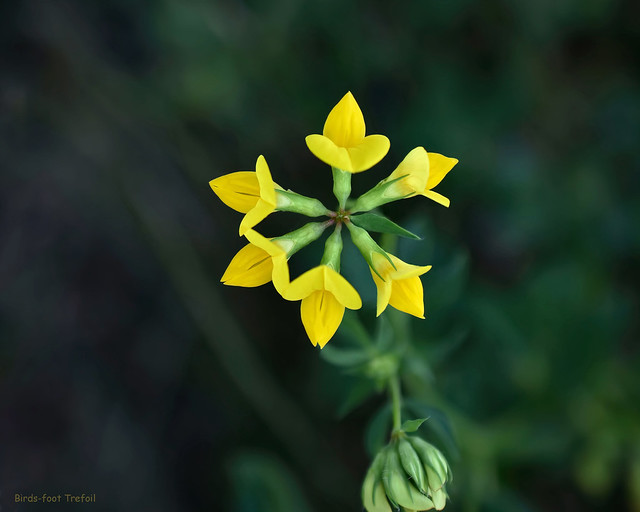 Birds-foot Trefoil - Lotus corniculatus  -  Fabaceae: Bean, Pea Family