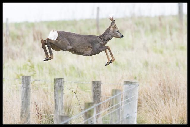 IMG_0023 Roe Deer Buck
