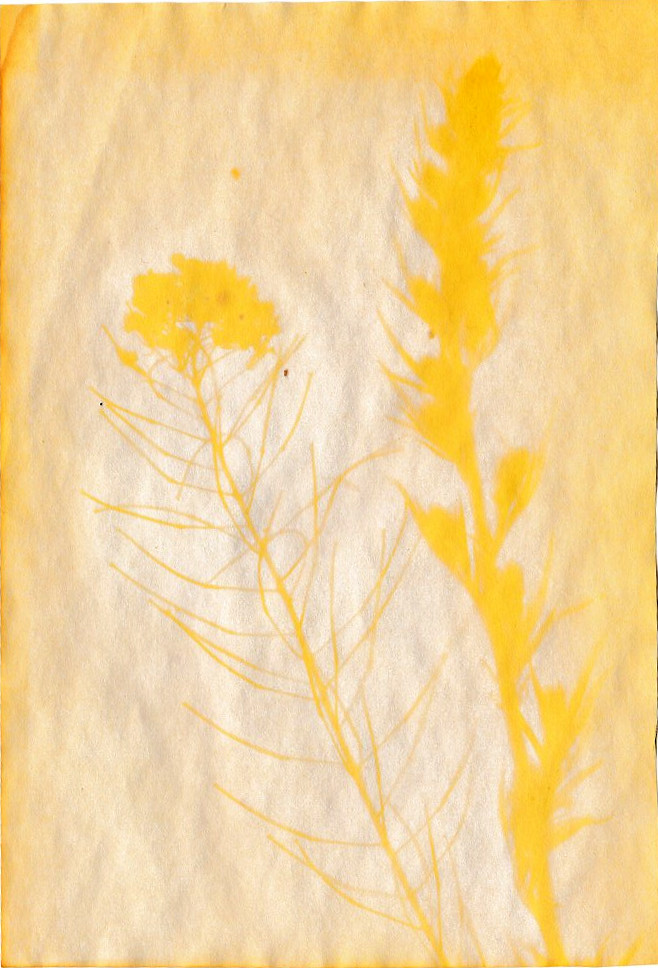 Anthotypie Gelbwurz als Farbstoff,  Senf Beifuß