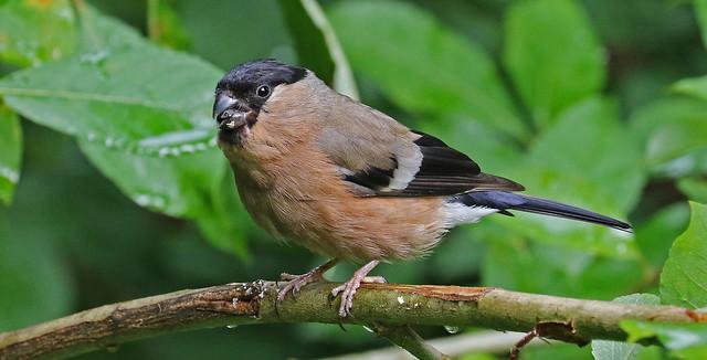 Lady Bullfinch