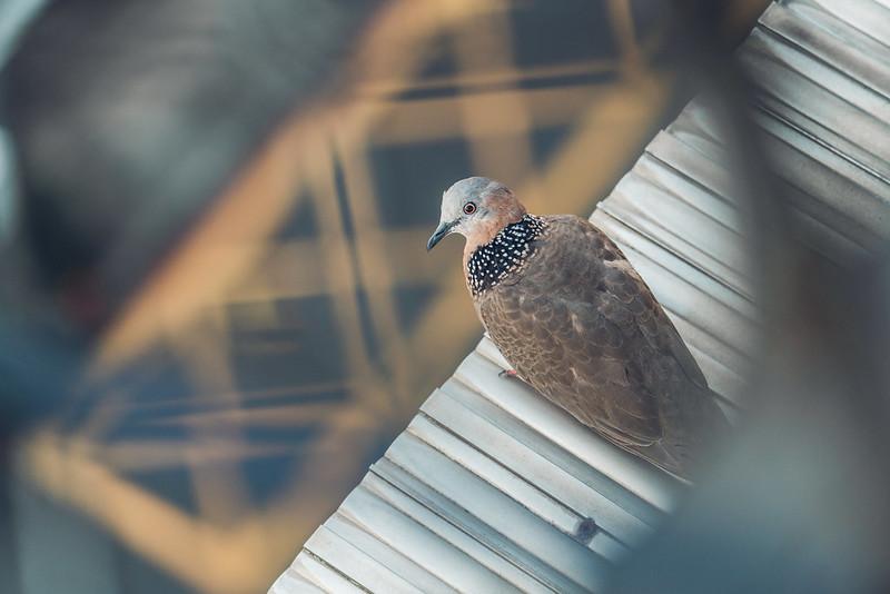 窗台的鴿子 Tamron A057