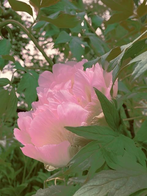 softly peeking pink