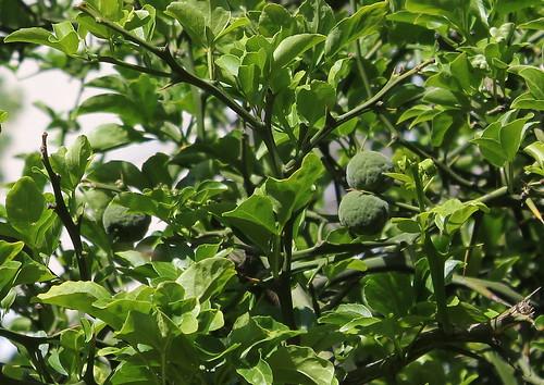 Citrus trifoliata (= Poncirus trifoliata) - Page 4 51252155747_1887c7bc8c