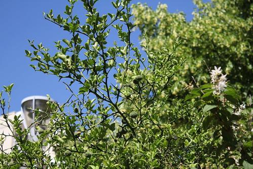 Citrus trifoliata (= Poncirus trifoliata) - Page 4 51252160607_5e8ccc39f8