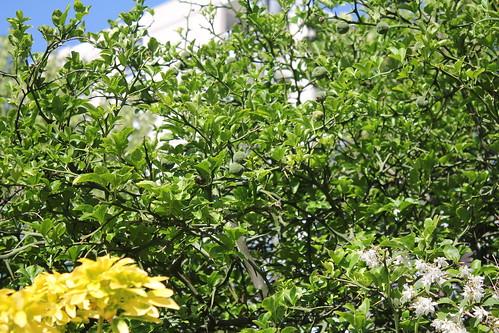 Citrus trifoliata (= Poncirus trifoliata) - Page 4 51252163272_8831743179