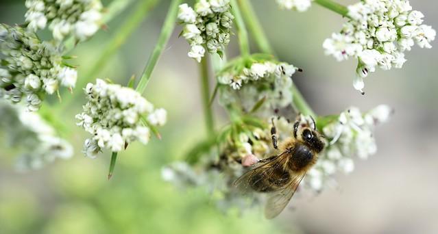 honey bee on Hemlock Water Dropwort
