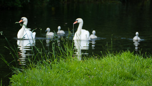 Swimming serenely by, swans, Castlecroft