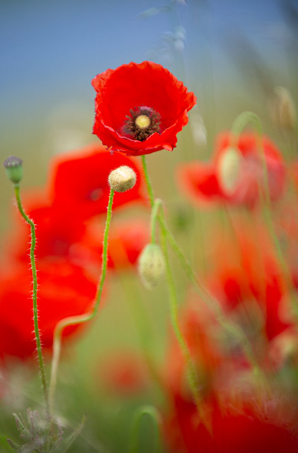 Red poppies in the warm sun