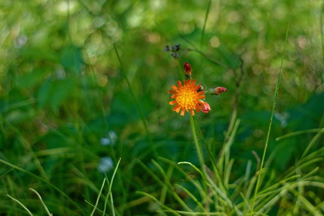 Orange Hawkweed_DSC_4100