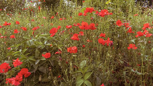 Poppy field in the spa park