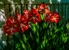 """""""A Stand Of Amaryllis"""""""