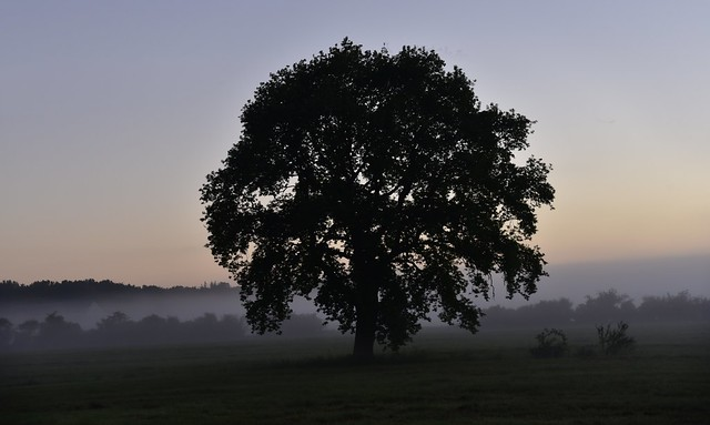 Eiche (Quercus robur) an der Dorfgrenze; Bergenhusen, Stapelholm (3)