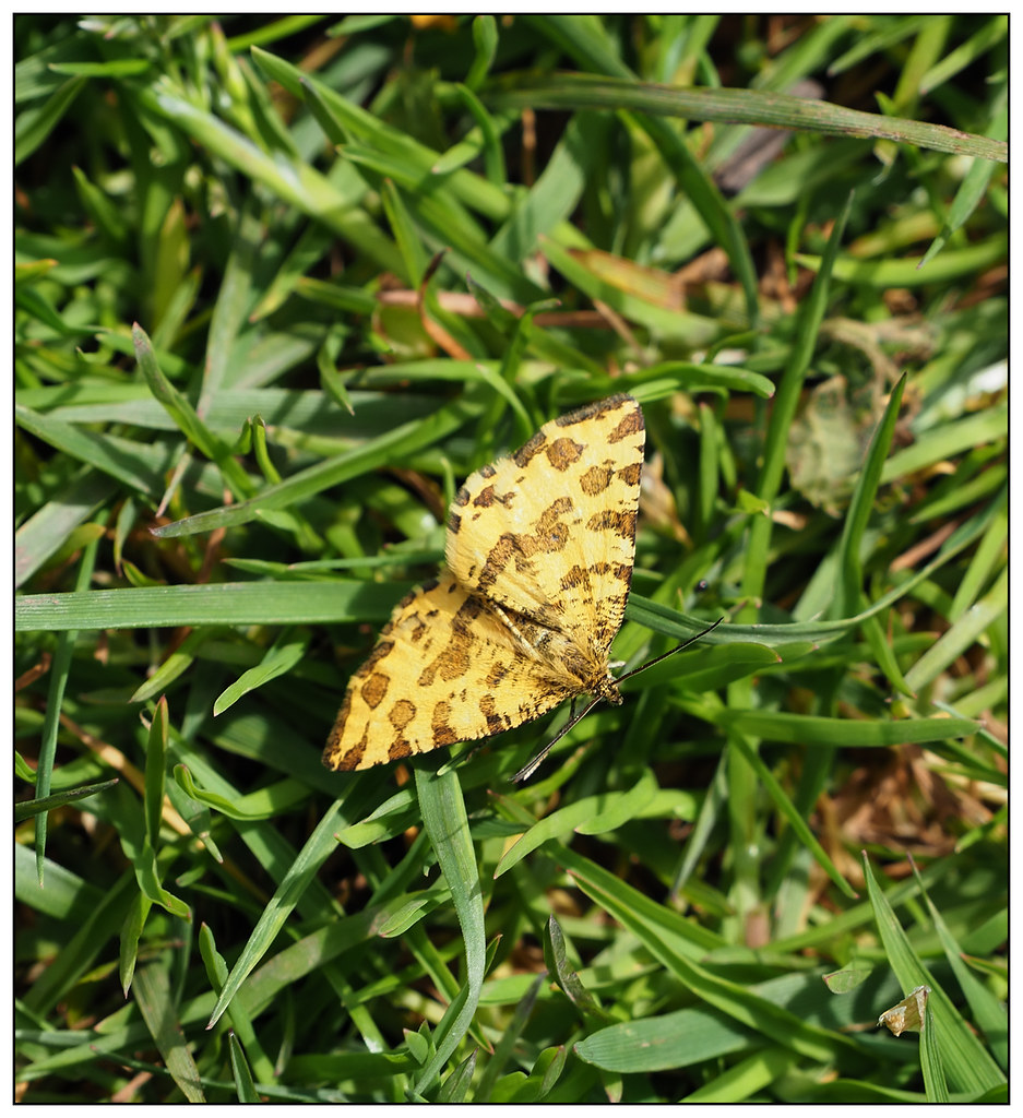 2021-0275 - Speckled Yellow Moth, Wharley Point, Llansteffan, Carmarthenshire.