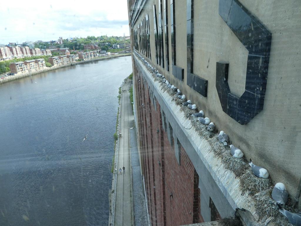 Kittiwakes nesting on the Baltic Centre, Gateshead