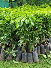 New coffee plants ready to go into production