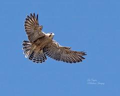Gorgeous Juvenile Peregrine Falcon