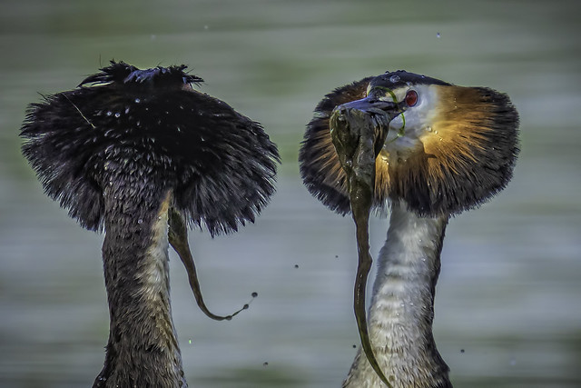 Grebes elephant competition