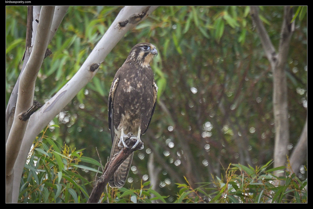 Brown Falcon: With Intent
